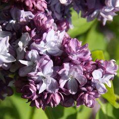 Flieder Syringa vulgaris 'Taras Bul'ba' - Lila Flieder - Flieder-Premium Fliedertraum
