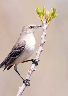These small mockingbirds (Mimus polyglottos) are only considered nocturnal because they sing at night, calling for a mate. So romantic! Sea Birds, Love Birds, Beautiful Birds, Woodlice, Australian Parrots, Singing Tips, Singing Lessons, Mocking Birds, Nocturnal Birds