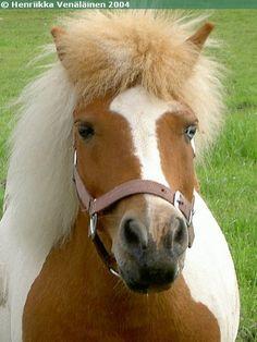 Mamman Ilo-Pilleri - Shetland Pony mare