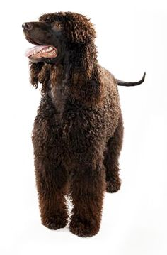 Irish Water Spaniel Dog Information