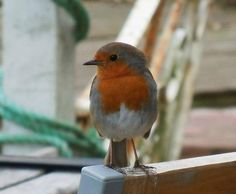 The Red Lion's very own Robin Redbreast!