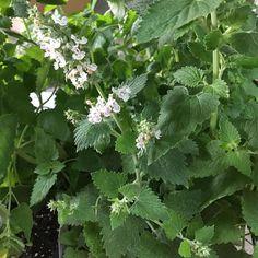 OnlinePlantCenter 5.5 in. English Thyme Culinary Herb Plant-H35075.5IN - The Home Depot Herb Garden Kit, Garden Soil, Edible Garden, Bay Leaf Tree, Catnip Plant, Flower Tower, Moon Garden, Hardy Perennials, Plants Online