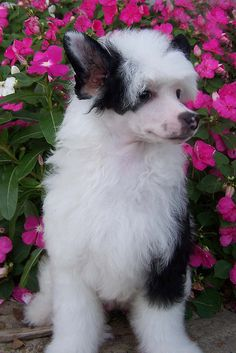 Mystique- Powder Puff Chinese Crested by lavesta19, via Flickr