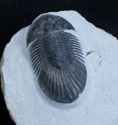 Platyscutellum trilobite with axial spines.
