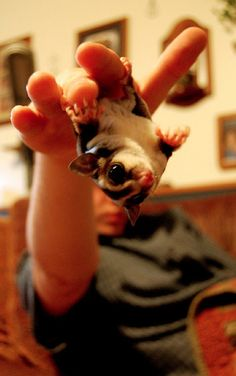 The Ultimate Collection Of Baby Sugar Glider Pictures....I will own a sugar glider at some point in my life.
