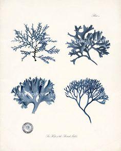 Vintage Sea Kelp of the British Isles