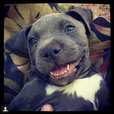 Really happy blue-nose blue pitbull puppy smiling
