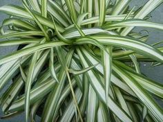 Il Falangio o Clorophytum