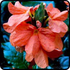Crossandra infundibuliformis flower detail