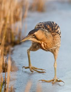 The Eurasian Bittern is a very rare (Red List) bird, only about a 150 left in our country. It's also a very elusive bird and a true Master of Camouflage. When a bittern does it's I'm-just-a-part-of-a-reed-bed-act' you get fooled easily and this is why you hardly ever get to see them. Due to the harsh winter bitterns were forced to leave their hidings. Sad for them, but a good opportunity for photographers.... This particular bittern was rather cooperative and gave me the chance to enjoy its