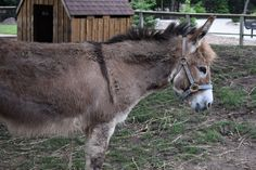 2017-06-24 At the not-retail job every year they have a team member appreciation day at the #MenomineePark in #Oshkosh. My sister and I walked around the park and I took pictures. Inside the park there is a free #zoo. This was the second miniature #donkey (Equus africanus asinus). She was also very unimpressed but was much more willing to pose for a picture. #Wisconsin #nature