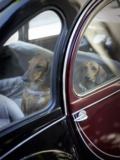 Photograph by Rachael Hale from her upcoming book 'The French Dog' dachshund