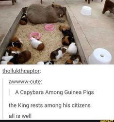 Thollukthcagtor: awwww-cute: A Capybara Among Guinea Pigs the King rests among his citizens all is well - iFunny :) Funny Animal Memes, Cute Funny Animals, Cute Baby Animals, Funny Cute, Animals And Pets, Hilarious, Funny Memes, Animal Pictures, Funny Pictures
