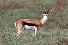 African Gazelle | Springbok (gazelle), in the West Coast National Park, South Africa