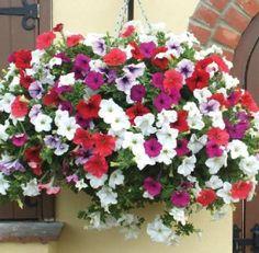 Gambar Cara Menanam Bunga Petunia Di Pekarangan Rumah