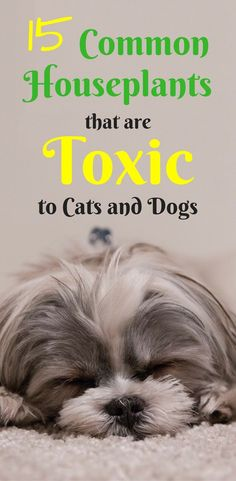 Poisonous Indoor Plants for Dogs | Poisonous Indoor Plants for Cats | Toxic Houseplants for Pets | Interior Plants |