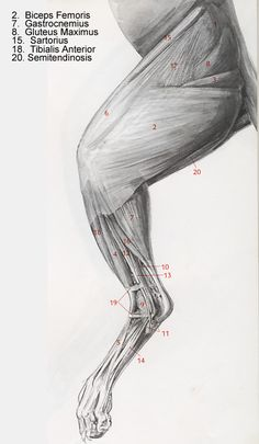 canine muscle structure  anatomy of the dog dog index