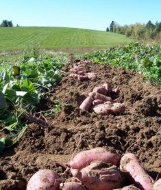 Grow your own Sweet Potatoes! --  (Also known as yams).  Prepare your own slips or buy them from a seed company.  Have fun!