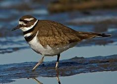 The Killdeer:  A shorebird you can see without going to the beach, Killdeer are graceful plovers common to lawns, golf courses, athletic fields, and parking lots.