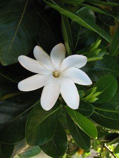 Tiare Tahiti Histoire: Le Tiare Tahiti, littéralement « fleur de Tahiti » (Nom scientifique, Gardenia taitensis) est une espèce de petit arbuste à fleurs que l'on retrouve dans une grande partie du Pacifique insulaire, jusqu'au Vanuatu. La fleur de tiare...