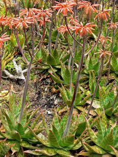 Aloe maculata (Soap Aloe)