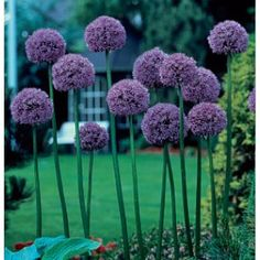 Allium gladiator - I have always talked about planting some of these...this fall I will!
