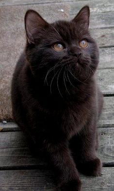 Perfectly exquisite chocolate kitten. - Cat