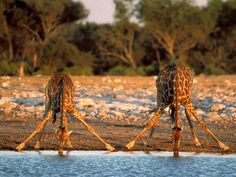 images of giraffes in africa | ... Africa_Thirsty_Giraffes+beautiful+animal+giraffes+picture+in+africa