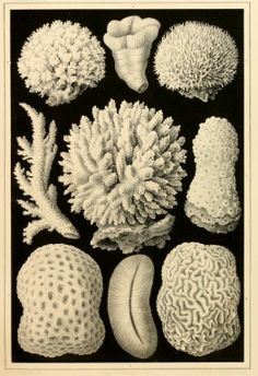 Absolutely amazing drawings of many types of coral by Ernst Haeckel. In the public domain, download this lovely ebook here: https://archive.org/stream/arabischekoralle00haec