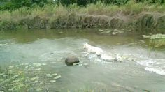 Dog will swim