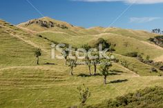 Native Cabbage Trees & Green Rolling Hills, New Zealand Royalty Free Stock Photo
