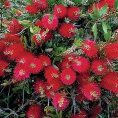 Plantas y Flores, plantas especies : Limpiatubos - Callistemon citrinus