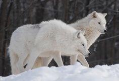 Enciclopedia animal   Animales de las regiones polares - Lobo ...
