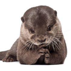 Otters...I liked them before Cumberbatch made them cool
