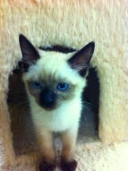 Isis is an adoptable Ragdoll Cat in Parlier, CA. Isis is a snugglebug sweetheart who loves to be carried and held. She is a bit more reserved than her littermates, but once she's made herself at home ...