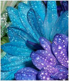 flowers raindrops blue teal purple
