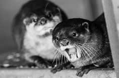 Otter photobombs his friend - August 14, 2015
