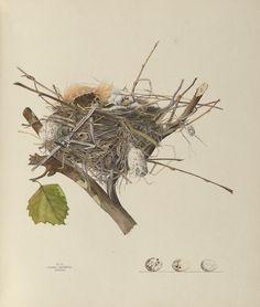 Illustrations of the Nests and Eggs of Birds of Ohio, H. Jones, V. Jones, and E. Shulze, 1886.