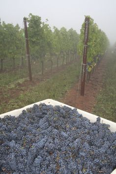 The early morning mist hangs in the air and the Pinot noir fruit looks fantastic. Cheers to the 2013 vintage! Pinot Noir, Early Morning, Mists, Sustainability, Cheers, Harvest, Vineyard, Sidewalk, Fruit