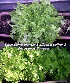 Como plantar 1 alface e colher 3, em 3 meses