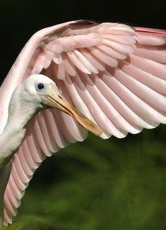 Roseate Spoonbill - ©Darlene Boucher (amaw) wonderful Pink feather  - Subhan Allah . http://www.flickr.com/photos/amaw/3315279650/in/photostream/ Big Bird, Pretty Birds, Beautiful Birds, Animals Beautiful, Flamingos, Bird Wings, Space Center, All Birds, Love Birds