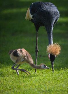 West African Black-Crowned Cranes