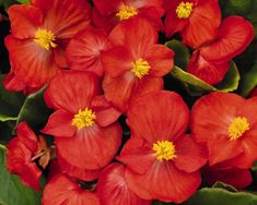 Sprint Plus Orange Begonias 2017 Annual Complex Plant give-away