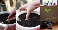 DIY: Grow An Endless Amount of Ginger Indoors Ginger is one of the easiest plants to propagate and harvest at home.