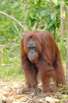 NYARU MENTENG ORANGUTAN RELEASE CANDIDATE PROFILES | FEBRUARY 7 – 8, 2014 | Going Back to the Forest