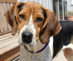Hannah is an adoptable Treeing Walker Coonhound searching for a forever family near Yukon, OK. Use Petfinder to find adoptable pets in…