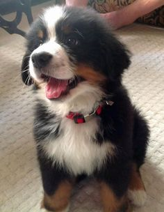 Monk the Bernese Mountain Dog
