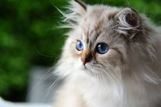 British longhair seal golden tabby point - #cat #chat #animal #babycat #kitten #bordeaux #britishlonghair #colorpoint #arthoria #britisharthoria #arthorialovers #tabby #chatteriearthoria #catlovers #cute #love #cuteness #paris #chaton