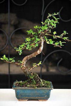 Bonsai Trees For Sale, Indoor Bonsai Tree, Bonsai Plants, Bonsai Garden, Indoor Plants, Flowering Plants, Fukien Tea Bonsai, Grandmas Garden, Unique Mothers Day Gifts