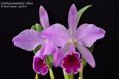 Cattleya jenmanii f. Cattleya Orchid, Orchid Flowers, Tropical Flowers, Orchids, Flower Names, Orchidaceae, Irises, Mermaid, Lily